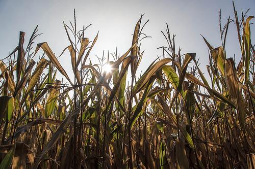 TC1507 : Un nouveau maïs OGM autorisé
