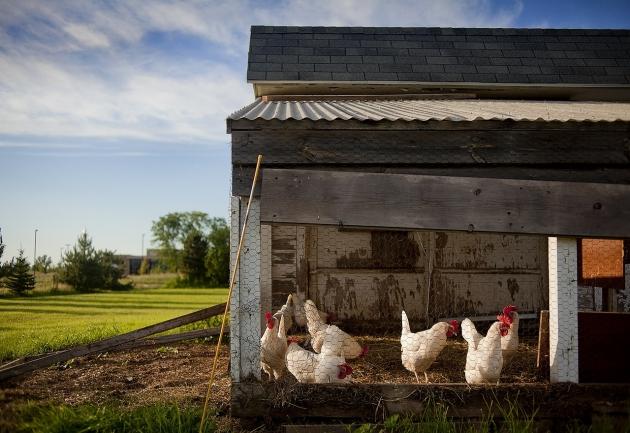 Des poules … sur Twitter !
