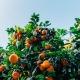 Falling Fruit : Une carte interactive pour trouver des fruits gratuits