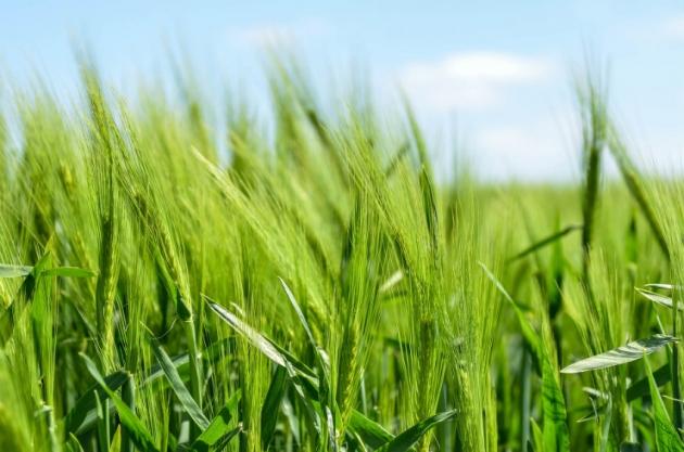 OGM : De plus en plus de cultures concernées dans le monde